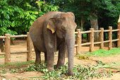 image of indian elephant  - Indian elephant in elephant nursery - JPG