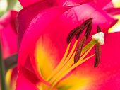 Petals, stigma and anthers of an pink lily