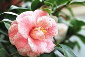 Camellia flower