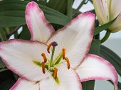 White lily with purple edges and stigma