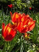 Orange tulips in bright sunlight