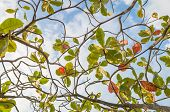 pic of canopy  - looking upwards to the tree canopy above a Hawaiian hiking trail - JPG