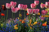 Beautiful Spring Flowerbed With Pink Tulips And Multicolored Garden Flowers