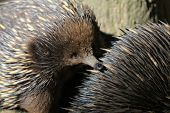 foto of ant  - Echidnas enjoying the hunt for some ants