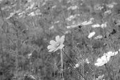 foto of cosmos flowers  - beautiful cosmos flowers in garden of Thailnd - JPG