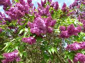 foto of lilac bush  - Purple lilac bush with blue sky on background - JPG