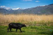Cows On Island Of St. Ahileos At Lake Prespa, Greece poster