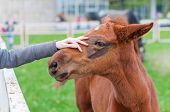 picture of foal  - Girl stroking a brown head of foal - JPG