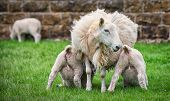 image of spring lambs  - Two lambs suckle milk from their mother - JPG