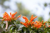 image of trumpets  - Orange trumpet - JPG