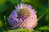 pic of extreme close-up  - colourfull and bright thistle flower - JPG