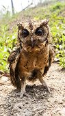 stock photo of pecker  - Close up Owl portrait front in park nature - JPG