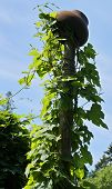 stock photo of ivy vine  - grape ivy climb - JPG