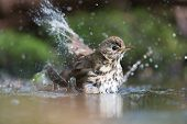 picture of bathing  - Mistle Thrush bathing with many splashes i nature water - JPG