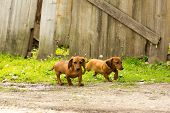 pic of dachshund dog  - dog of breed dachshund of a brown color  - JPG