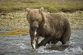 picture of grizzly bear  - Grizzly Bear eating a caught salmon while standing in river - JPG