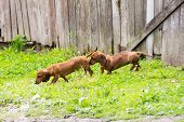 picture of dachshund dog  - dog of breed dachshund of a brown color - JPG