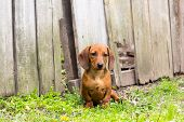 image of dachshund dog  - dog of breed dachshund of a brown color - JPG