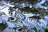 pic of ifugao  - Amazing abstract texture of rice terraces fields with sky colorful reflection in water - JPG