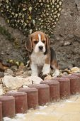 picture of puppy beagle  - Beautiful beagle puppy on the garden in winter - JPG