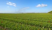 image of cannon  - Water cannon irrigating a field with tulips in spring - JPG