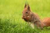 stock photo of toe  - PolandEuropean squirrel sitting on the grass and eat sunflower seeds - JPG