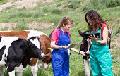 picture of veterinary  - Veterinary on a farm performing a physical examination in a cow - JPG