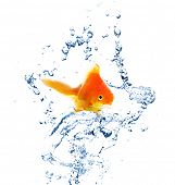 picture of goldfish  - Goldfish in water splashes - JPG