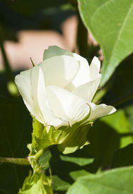 picture of pima  - Cotton blossoms appear on the cotton plant as it matures in the field - JPG