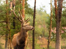 stock photo of male-domination  - Majestic powerful adult male red deer stag in autumn fall forest - JPG