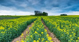 stock photo of rape-field  - Blooming rapeseed field under cloudy sky. Beautiful agricultural landscape. ** Note: Shallow depth of field - JPG