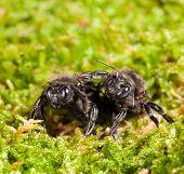 Постер, плакат: Two Black Carpenter Bee Over Moss Background