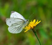Green-veined White Pieris napi