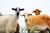 ������, ������: Goats With White And Brown Wool