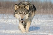 Timber Wolf Looking for Food poster