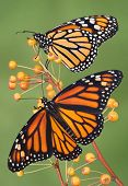 image of monarch butterfly  - two monarch butterflies are perched on a branch - JPG