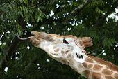 Giraffe Feeding