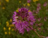image of xeriscape  - close up of rocky mountain bee plant flowers - JPG