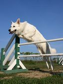 Jumping White Dog