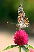 stock photo of argo  - butterfly sitting on a pink flower close up - JPG