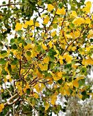 Yellow And Green Aspen Leaves