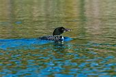foto of loon  - Adult loon on a blue lake in Canada - JPG