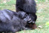 Gorilla Naptime