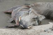Naptime For Warthog