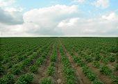 Potatoes Field
