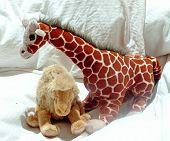 Giraffe And Camel