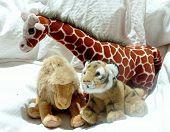 Giraffe, Camel And Tiger