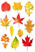 image of fall leaves  - Collection of colorful autumnal leaves isolated on white background - JPG