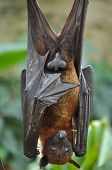 stock photo of scrotum  - Male bat relaxing after a fruit meal - JPG