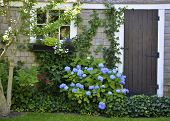 stock photo of martha  - A hydrangea garden on the island of Martha - JPG